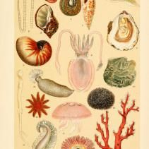 Free Vintage Illustrations of Sea Snails, Coral, Mussels, and more Marine Life