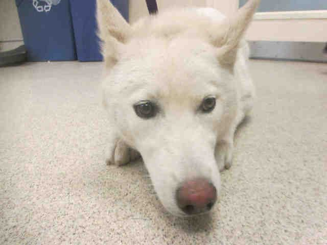 "4/16/17 DUE OUT April 8!!! Western Riverside County/City Animal Shelter  GRANT-ID #A1354466 -M-7-MO-WHITE SHEP/SIBERIAN HUSKY #EUTH #LISTED #URGENT #HE #WAS #DUE #OUT #APRIL8""I Am A Male, White Shepherd & Siberian Husky. The Shelter Staff Think I Am About 7 Months Old. I Have Been At The Shelter Since April 04, 2017."
