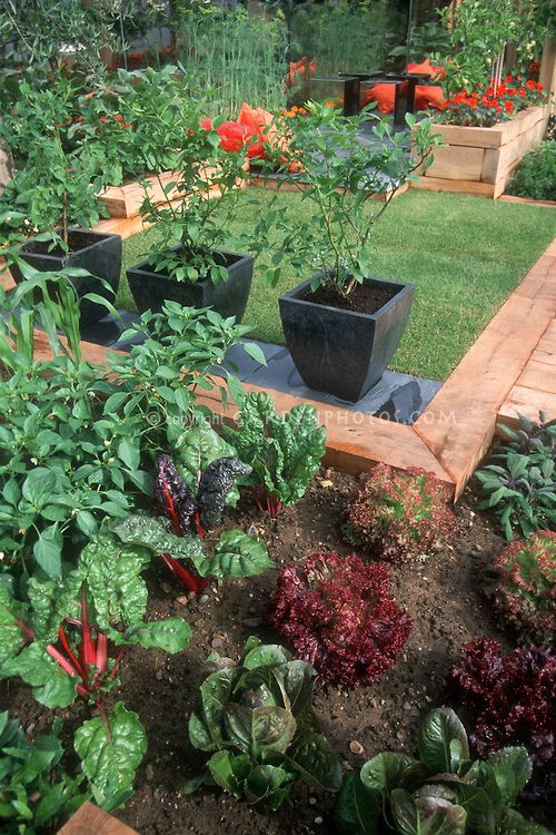 Modern potager. Rainbow chard in small space garden, lettuce, blueberries in pots, lawn grass, patio, raised beds in urban home garden