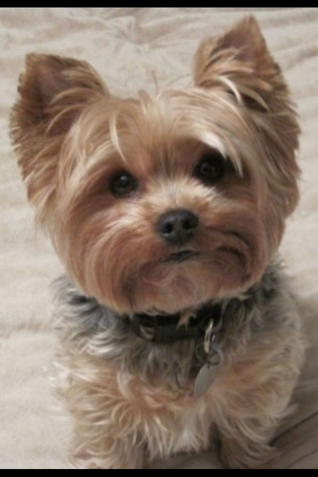 This Yorkie puppy is so adorable.  Looks a lot like Harley. Well sorta.