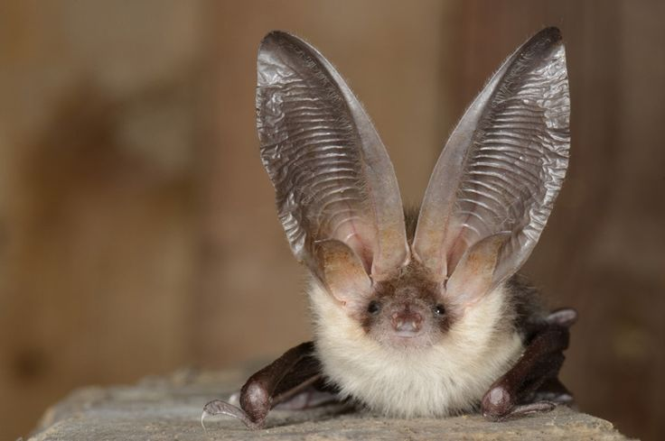 cute long eared bat, Plecotus