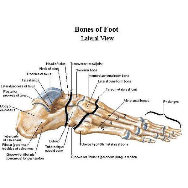 Lábszerkezet