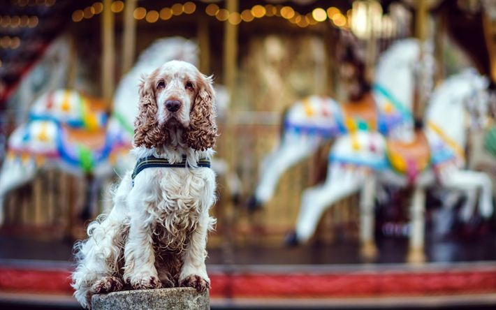Download wallpapers English Cocker Spaniel, curly cute dog, pets, white brown dog