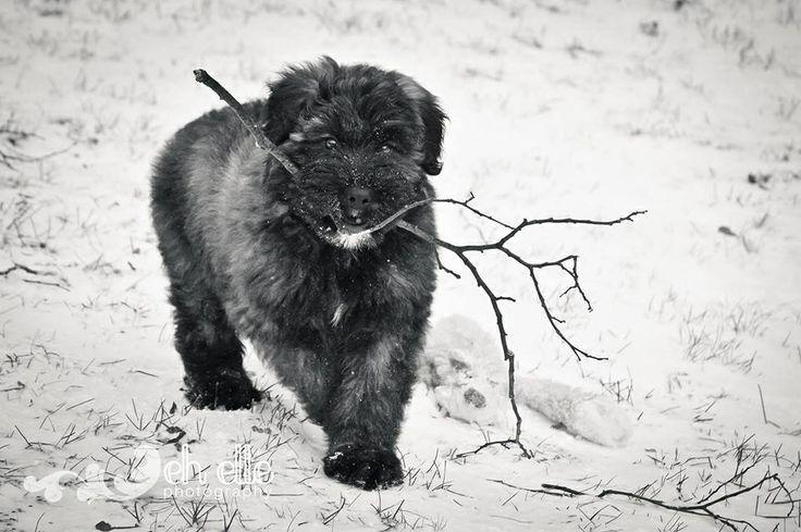 Bouvier Des Flandres 8 Weeks 70 best Dog Love | Bou...