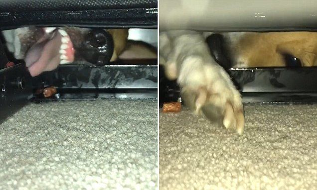 Dog refuses to give up as he tries to reach treat stuck under a sofa