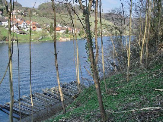 ライン川の北側斜面に群生するべアラオホ。Bearlauch at Rein.