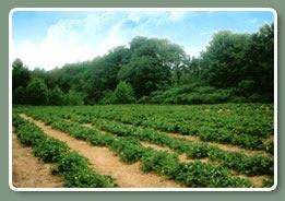 La Ferme des Petits-Fruits, c'est 75 ans de savoir.... En effet, trois générations de la famille Guénette se sont transmises leur amour et leur savoir-faire de la culture de ce beaux et succulents fruits : La fraise et la framboise.