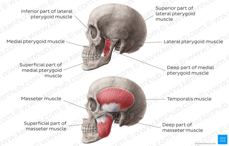 Diagram    Pictures  Muscles Of Mastication  Anatomy