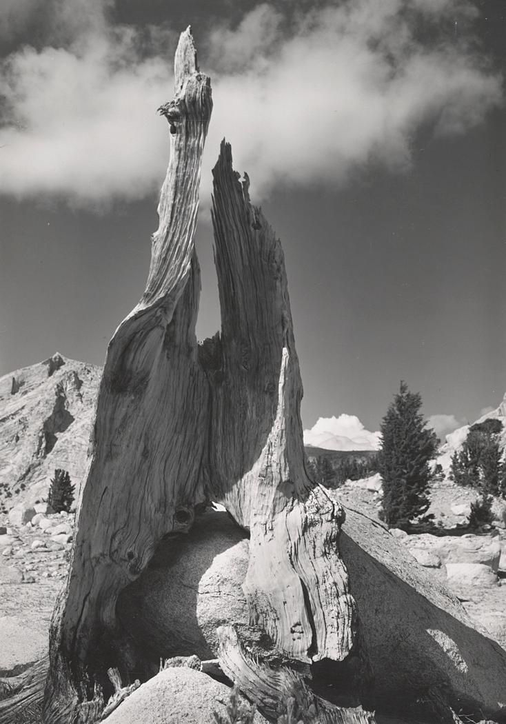 1945 stump and clouds near young lakes yosemite national park by ansel adams 84 91