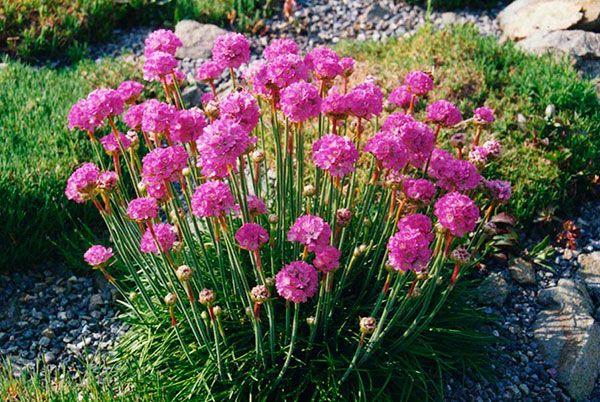 Если вы хотите сделать у себя на даче оригинальную клумбу, то эти необычные по форме цветы как раз для вас!