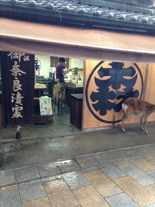 People have caught pictures of the cute little guys taking refuge under awnings and even in local shops during a rainstorm, just like humans.