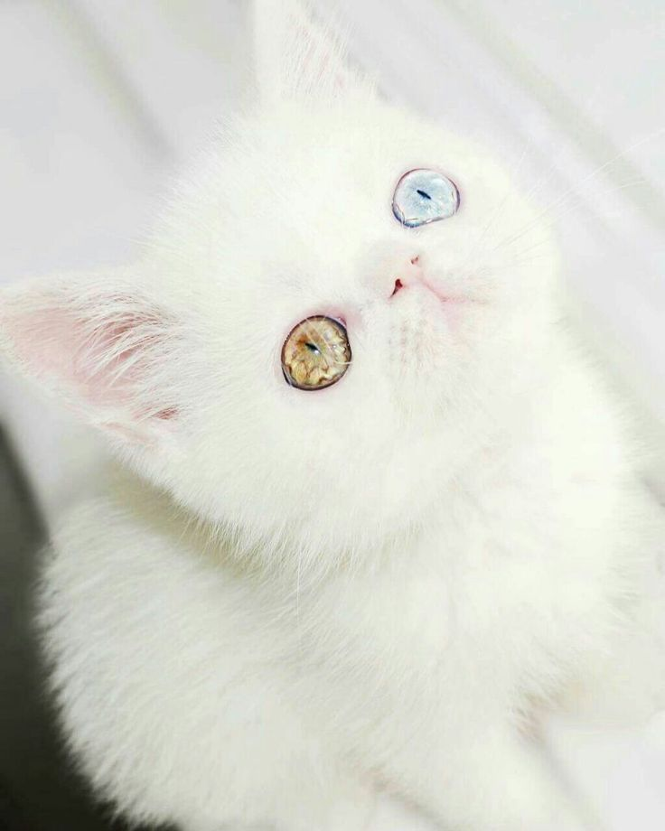 Best Fluffies Images On Pinterest Adorable Kittens Kitty - This is pam pam the kitten with heterochromia with hypnotic eyes you just cant stop looking at