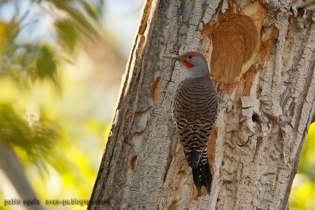 mis fotos de aves: Carpintero ala roja [Colaptes rafer] Red-shafted F...