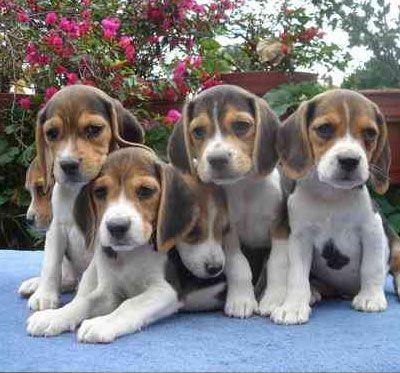 A batch of baby beagles! eeeee! too cute!