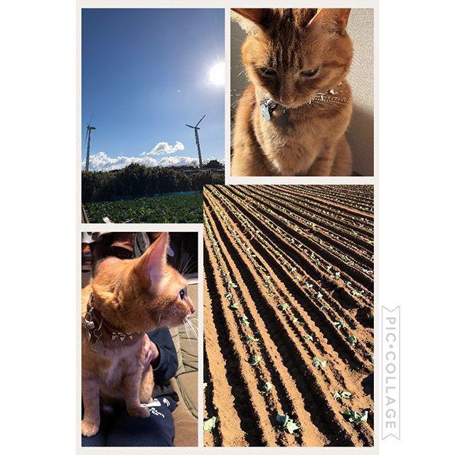 昨日、今年最後の大根出荷が終わり 今日はキャベツの定植🌱🌱🌱この時期は大根出荷、キャベツ定植と育ち具合や天気に寄りながら交互に作業です🚜そんなバタバタの毎日ですが、畑から戻るとティオ😺が癒してくれます!今年もあと少し❗️身体に気をつけて頑張りましょう(*ˊ˘ˋ*)。♪:*°💕皆さん、いつもありがとうございます😆#畑#農家#嫁 #キャベツ#大根 #仕事 #頑張る #👍 #空 #☁️#雲 #青空 #風車 #猫 #ねこ #ねこ部 #茶トラ #愛猫 #は #三男 #にゃんこ #🐱 #♥ #癒し#家族#😊#☀️#野菜 #嬉しい #恵みの雨#🙏