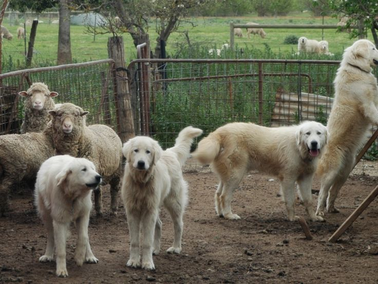Maremma dogs trained as bandicoot bodyguards – in pictures