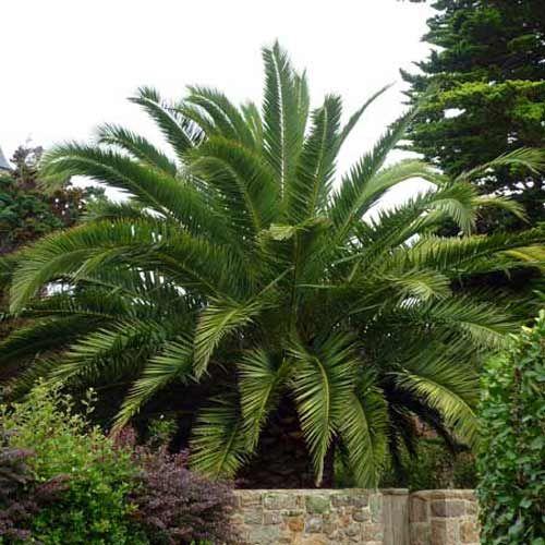 Le palmier des Canaries, Phoenix canariensis, est un palmier très connus, et très répandus dans les zones méditerranéennes.