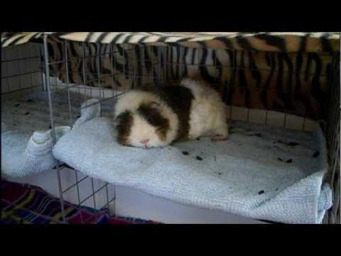 26 Best Images About Piggie Cages On Pinterest Cavy