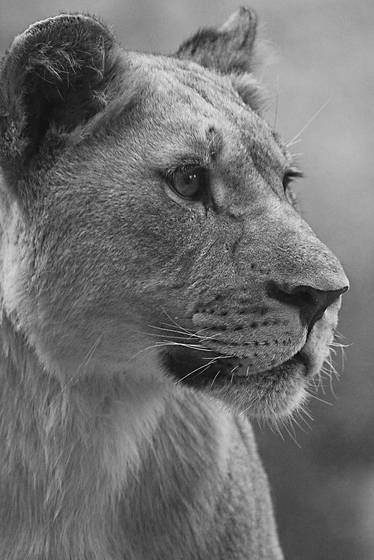Lioness by Barry Steven Greff | Black & White Magazine | For Collectors of Fine …