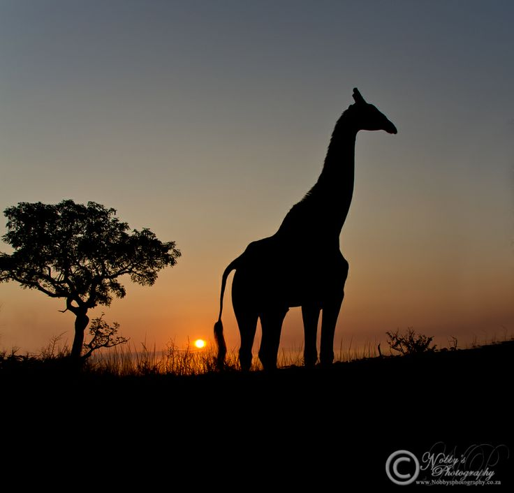 One of my more pleasing images taken in the Imfolozi Game Reserve, a moment I have waited for over two years to capture and I am sure I made the best of it, a Giraffe Silhouette at Sunrise