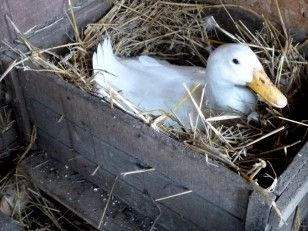 Raising Ducks: A Primer on Duck Housing, Diet and Health