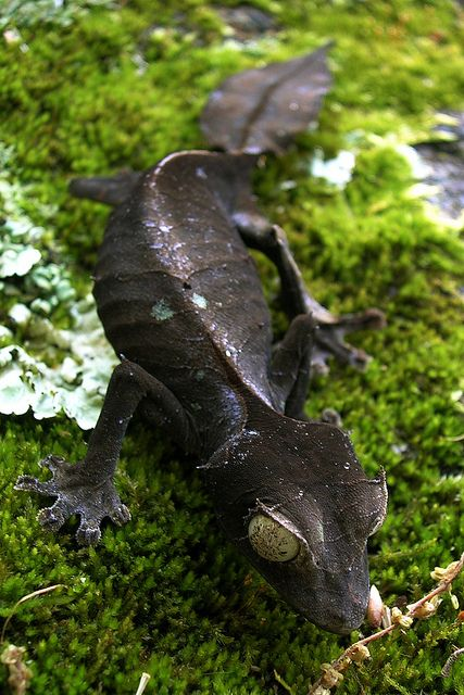 black satanic leaf tailed gecko  Photo by Mike Martin