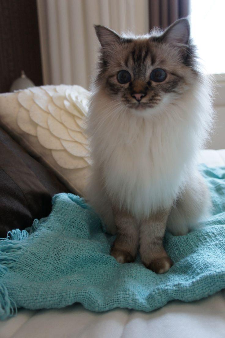 Noelle - Sacred birman cat