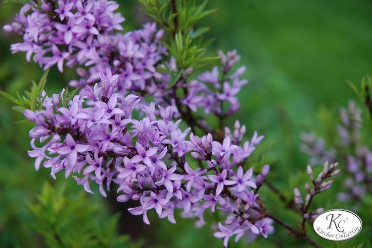 20 best Flieder images on Pinterest | Lilacs, Syringa vulgaris and ...