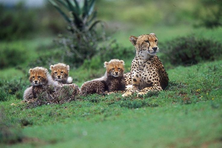 Cheetah with her babies on Amakhala Game Reserve