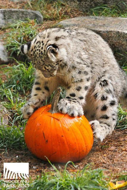 Pumpkin Bash at Woodland Park Zoo is in full swing through Halloween! The snow leopard kittens are loving their treats!