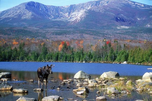 Moose near Mount Katahdin, Baxter State Park, Maine