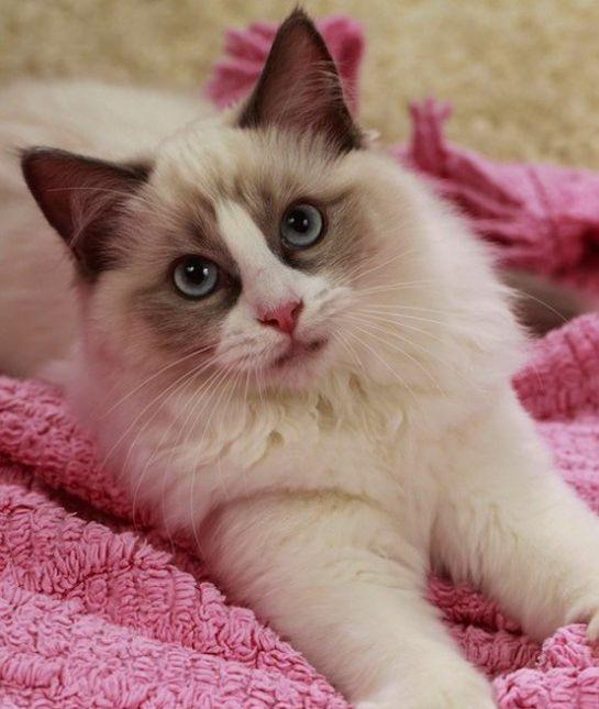 12 Friendliest Cat Breeds Ragdoll- affectionate, follow people close, very tolerant