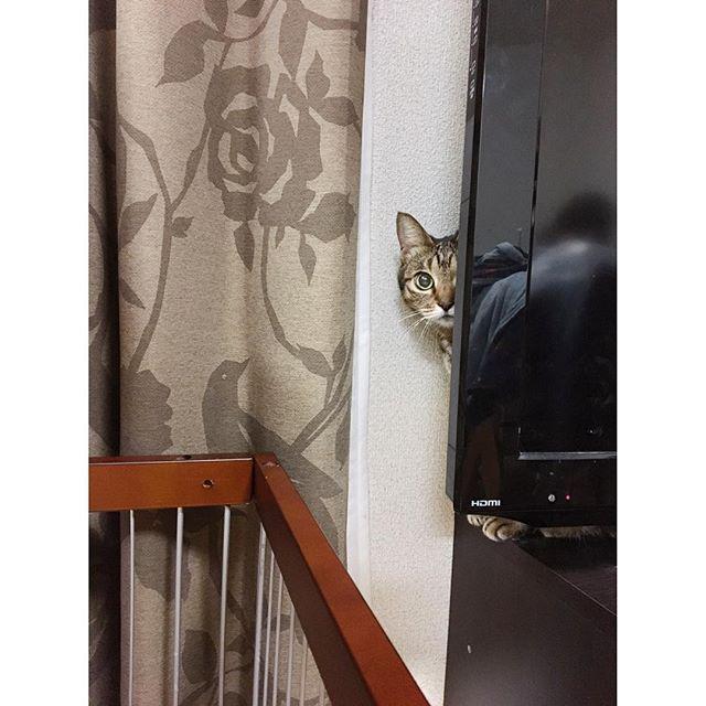 年末年始親がフランスに帰ってるため預かっている小夏さん。 夜はケージで昼間は私がリビングいる時はお外。 基本TVの裏からこちらの様子を伺っている。 まぁ小さい子がいるから仕方ないよね(°ω°) #実家 #猫 #ネコ #ヌコ #愛猫 #小夏さん #警戒心強め #子ども近づくなオーラ全開 #ごはん食べる時だけ出てくる #カリカリだと微妙 #ちょい高めな餌 #食いつきが良い #にゃん #cat#catstagram