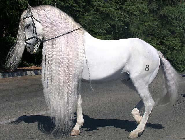 Andalusian horse by ~ele6767 on deviantART #overseashomes Horses from Andalusia, Spain. EXQUISITE.