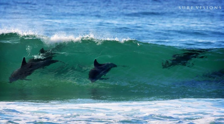 Manly Beach - Sydney - Australia......dolphins at play.....love it