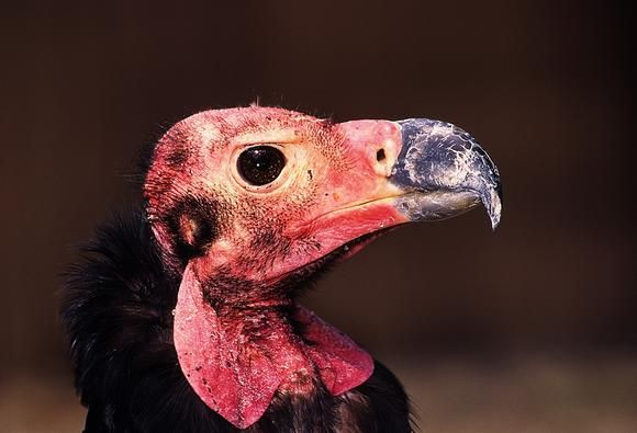 The Red Headed Asian King Vulture