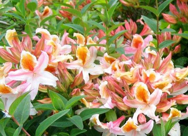 variedades de azaleas