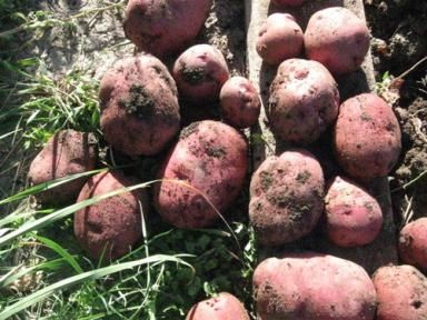 German Potato Varieties: Early Red Sangre Potatoes Grown in a Home Garden. These potatoes were grown with a trenching method for three months.