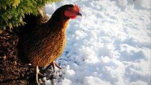 Conseils pour aider les poules en hiver