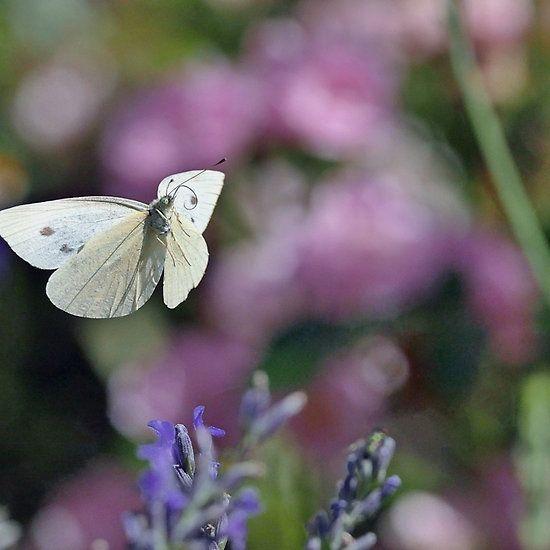 La Vie - The Life Papillons - Butterfly 3 (t) Okaio Création Panasonic fz 1000 510.000 photos juillet - aout 2016