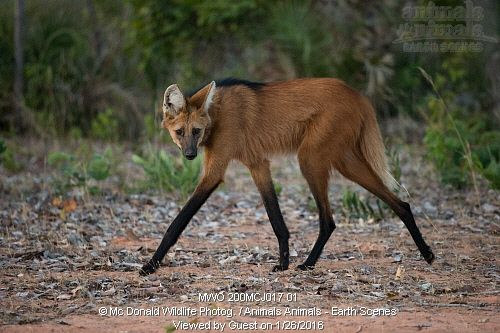 A Lot Of Maned Wolf By Loputyn Deviantart Com On: En Iyi 17 Fikir, Maned Wolf Pinterest'te