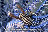 Elegant Squat Lobster on Featherstar