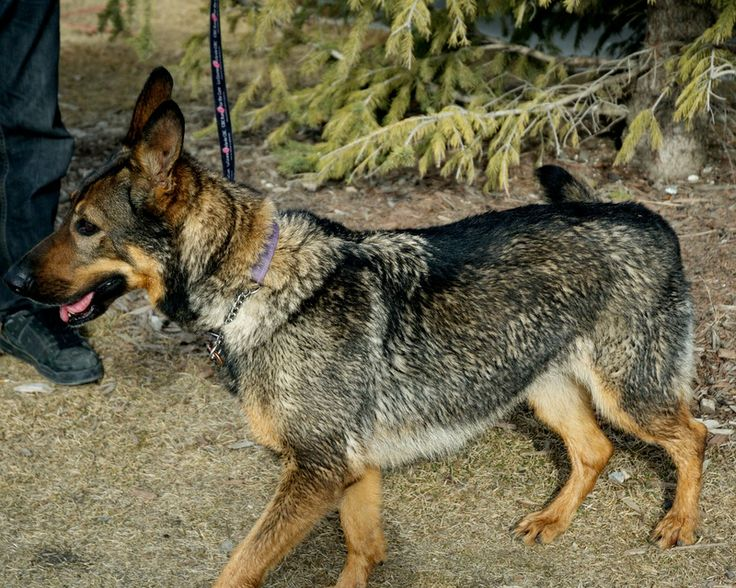 Sheila is a purebred German Shepherd, and she is a wonderful dog.      She is about 5 years old.  Sheila came to us limping and very     malnourished. Sheila has been with Pound Rescue for four years and     today she is the picture of health.  She...