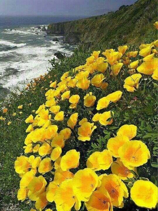 Golden Poppy: California State fllower