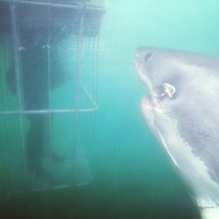 A white shark swims up to the cage to say hello to one of our white shark conservation volunteers. They're often very inquisitive 🦈 📸 @shark_buff