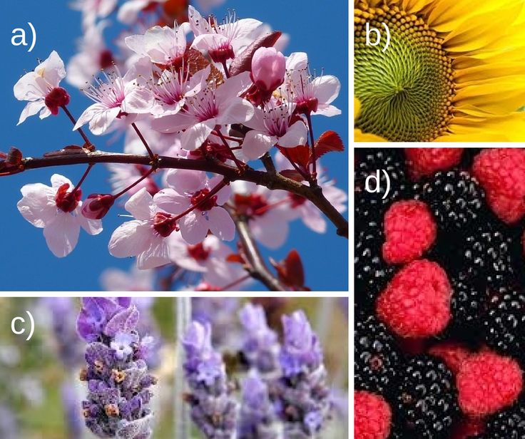 Which scent do you prefer? a) Cherry Blossom b) Sunflower c) Lavender d) Berries