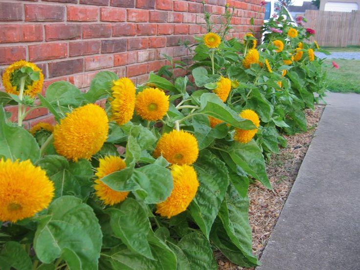 Best 25+ Planting sunflower seeds ideas on Pinterest ...