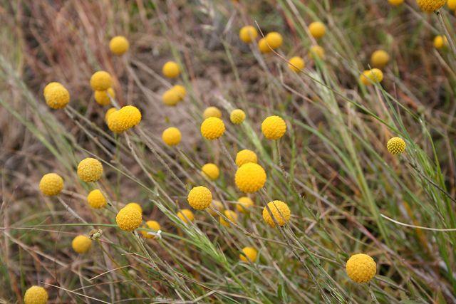 Golden Billy Buttons- Pycnosorus chrysanthes