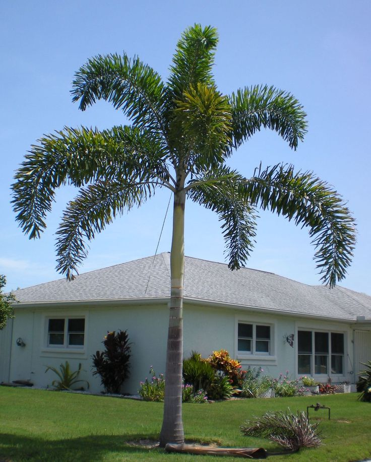 foxtail palm tree | the foxtail palm is an attractive self cleaning palm tree which needs ...