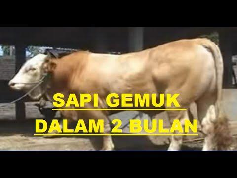 Cara Beternak sapi, budidaya sapi cepat gemuk hingga bisa panen dalam waktu 2 bulan banyak orang yang menginginkan memelihara atau beternak sapi agar cepat p...